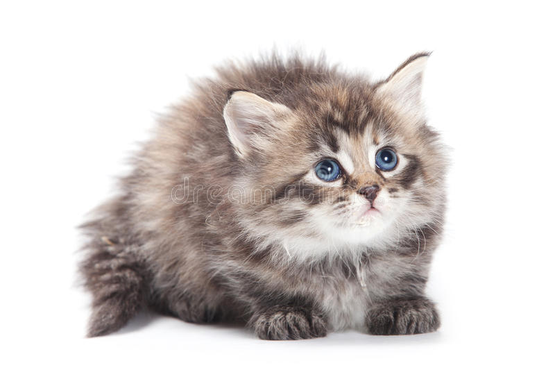 Download Siberian  furry kitten stock photo. Image of pedigree - 21785296