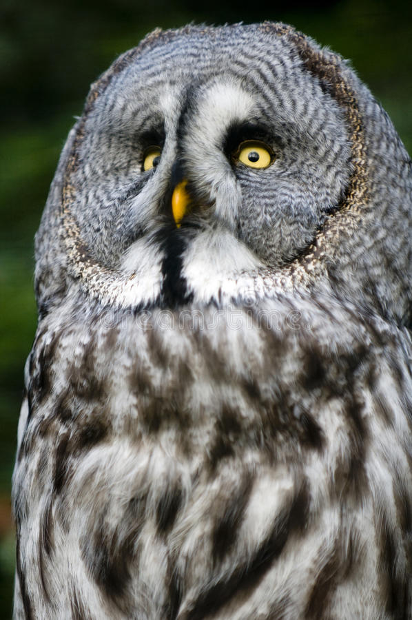 Siberian gray owl. This is siberian gray owl.It is raptorial nocturnal bird stock photography