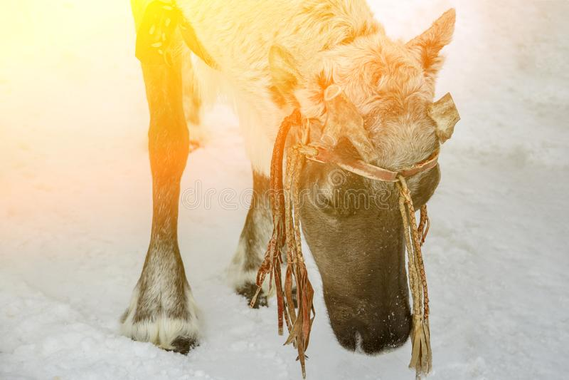 Siberian hjortar p? vinter arkivfoton