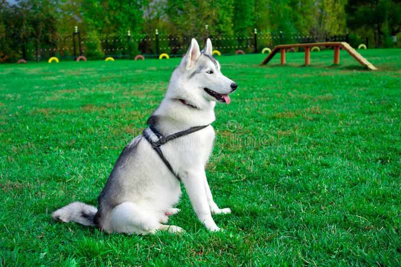 Download Siberian Husky stock image. Image of husky, pets, nobody - 16965831