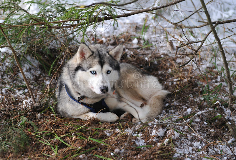 Download Siberian Husky Royalty Free Stock Images - Image: 22928899