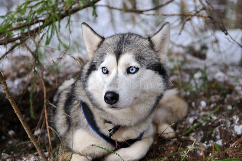 Download Siberian Husky stock image. Image of mammal, male, malamute - 22928925
