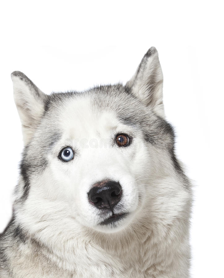 Download Siberian Husky stock photo. Image of mammals, pure, adorable - 26567460