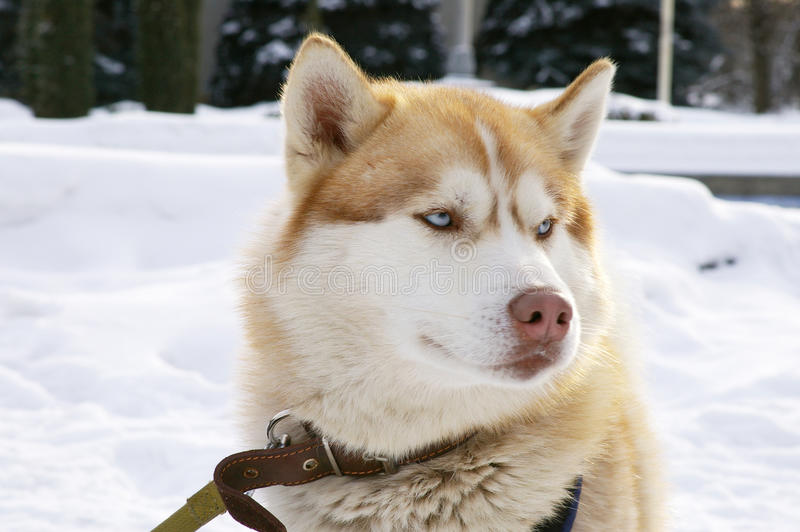 Siberian husky arkivfoto