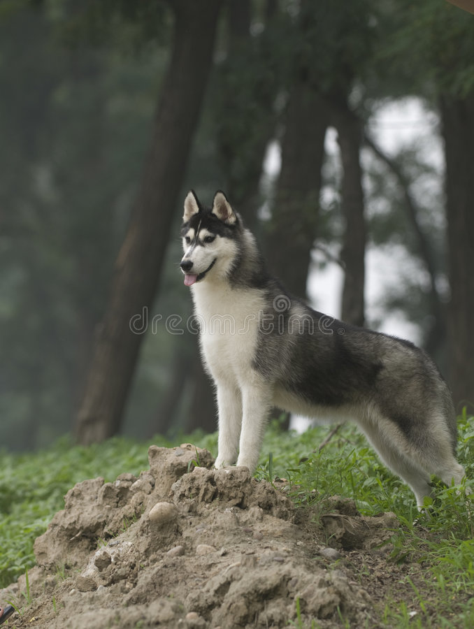 Download Siberian husky stock image. Image of wood, animal, locomotion - 6788189