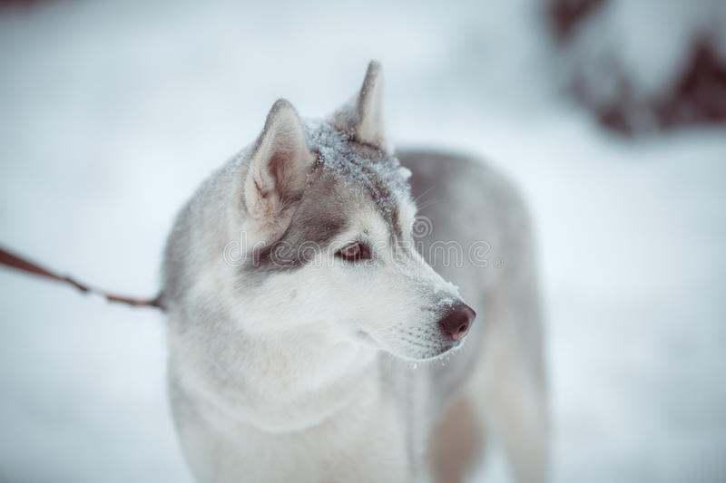 Download Siberian Husky Royalty Free Stock Photography - Image: 34626437