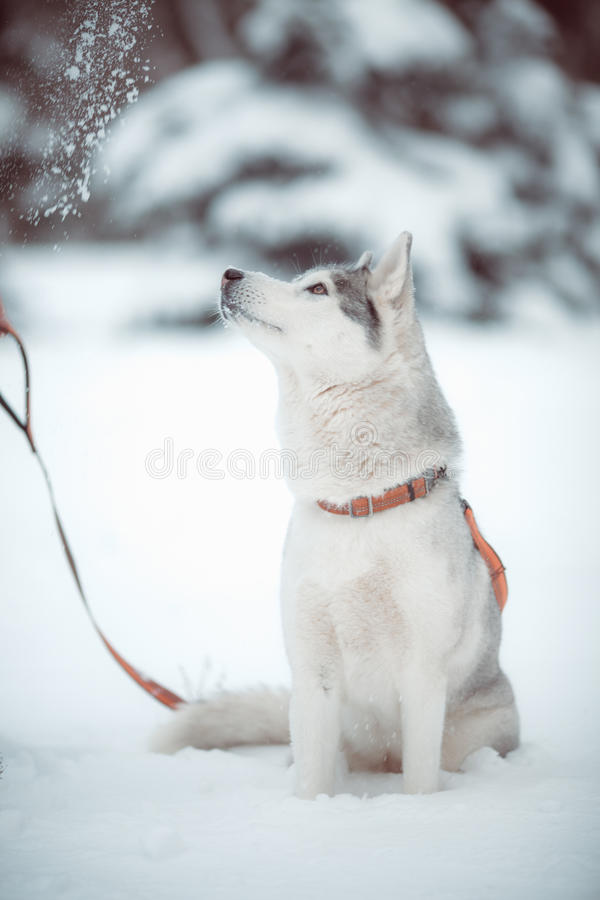 Download Siberian husky stock photo. Image of husky, adult, muzzle - 34626476