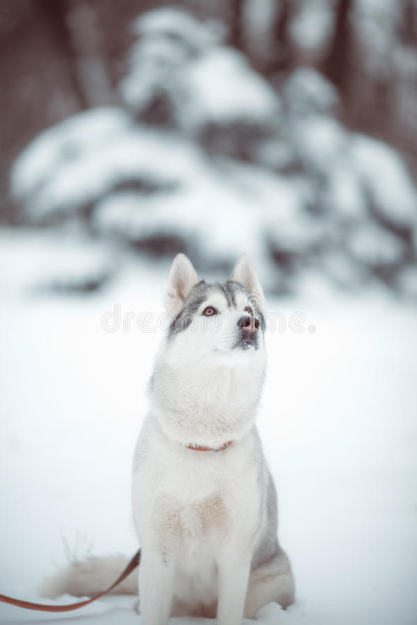 Download Siberian husky stock image. Image of cold, face, grey - 34626585