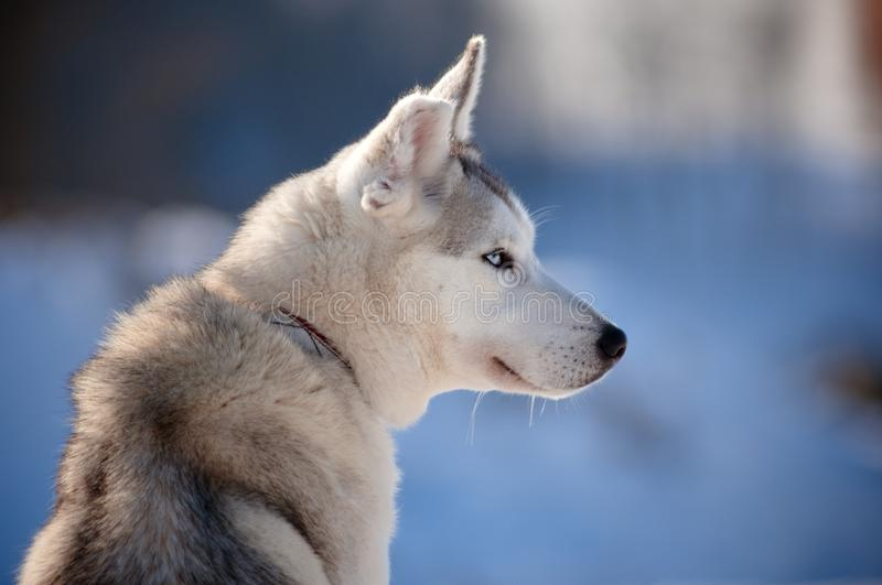 Download Siberian Husky With Cut Ear Stock Image - Image of domestic, leash: 25657229