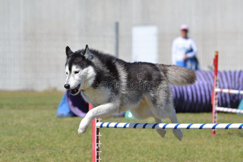 Siberian Husky at a Dog Agility Trial. Siberian Husky Leaping Over a Jump at a Dog Agility Trial stock image