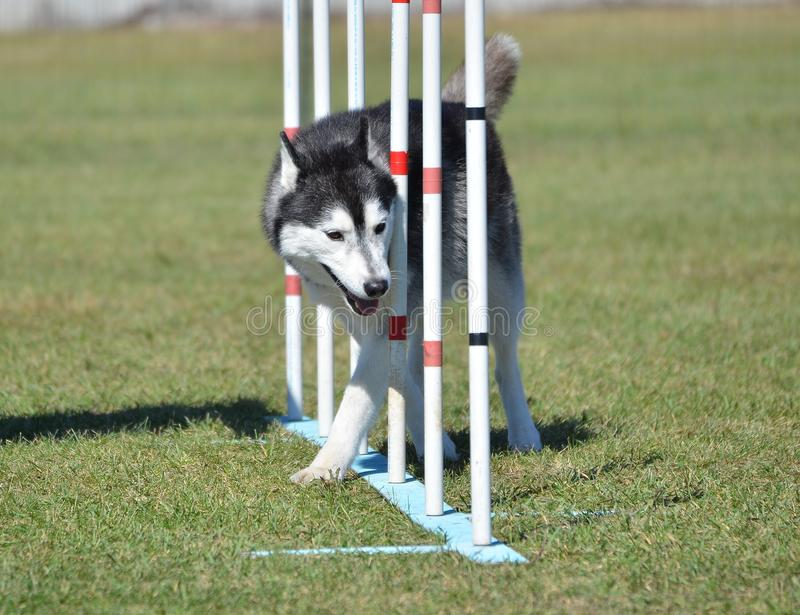 Siberian Husky at Dog Agility Trial royalty free stock photos