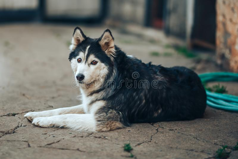 Siberian husky dog black and white with brown eyes lying on yard at home, 8 years old fog.  stock images