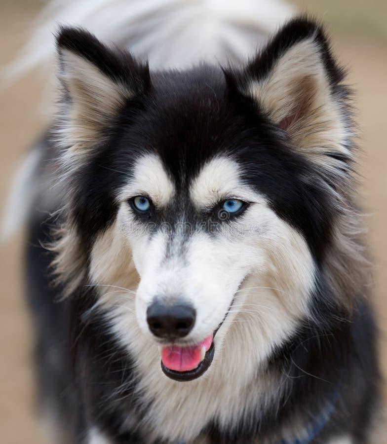 Siberian Husky dog breed. royalty free stock images