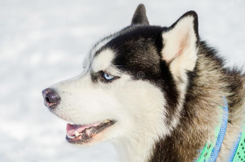 Siberian husky dog close up outdoor face portrait. Sled dogs race training in cold snow weather. Strong, cute and fast purebred. Dog for teamwork with sleigh stock images