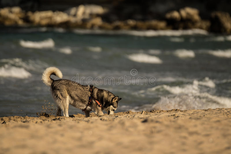 Siberian Husky Dog digging in the sand. Near the ocean stock images