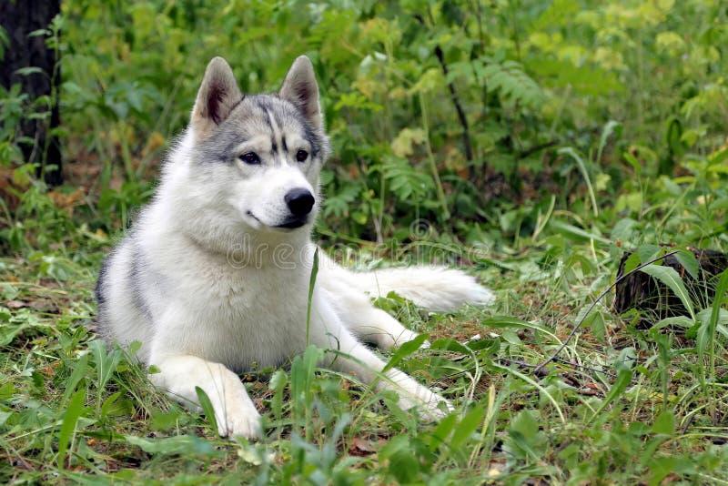 Siberian husky dog has a rest royalty free stock photography