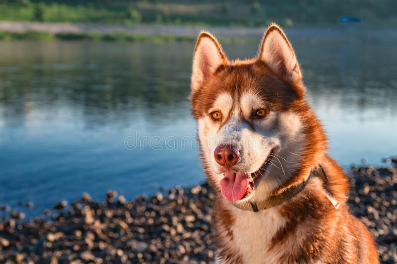 Siberian Husky dog loves life. Happy smiling red husky dog sits on the shore of a beautiful summer river stock photo