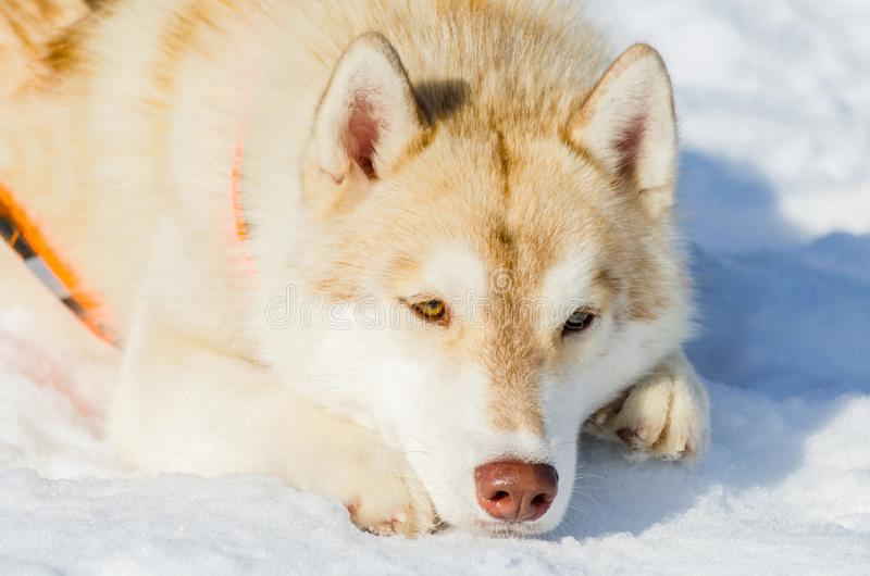 Siberian husky dog lying on snow. Close up outdoor face portrait. Sled dogs race training in cold snow weather. Strong, cute and stock photos