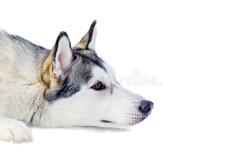 Siberian husky dog lying on snow, isolated portrait. Close up outdoor face portrait. Sled dogs race training in cold snow weather royalty free stock photos