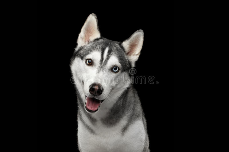 Siberian Husky Dog på svart bakgrund royaltyfri foto