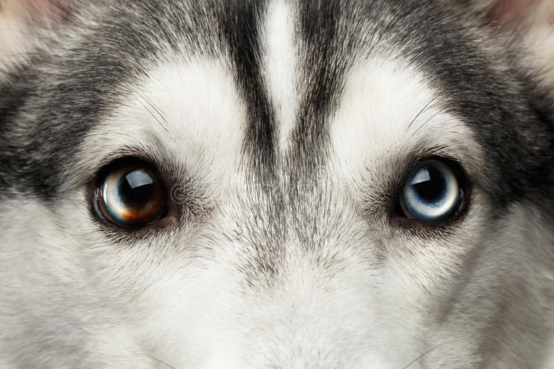Siberian Husky Dog på svart bakgrund arkivbild