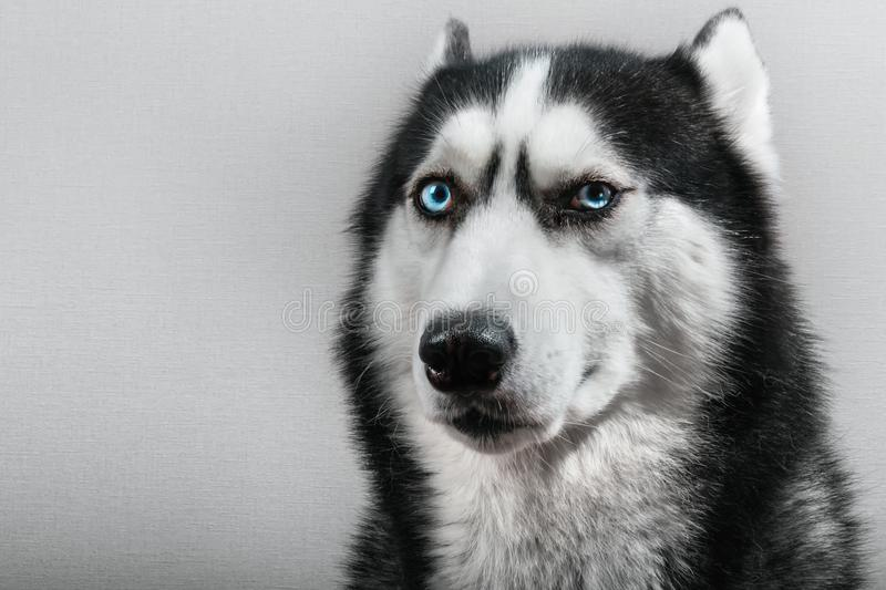 Siberian husky dog with pressed ears isolated on gray. Portrait confused funny sled-dog with blue eyes. royalty free stock image