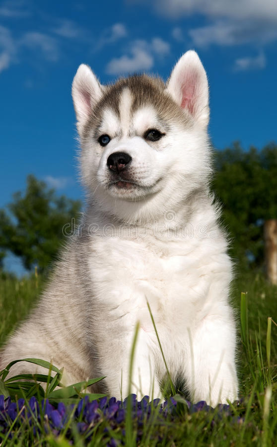 Siberian husky dog puppy stock photo