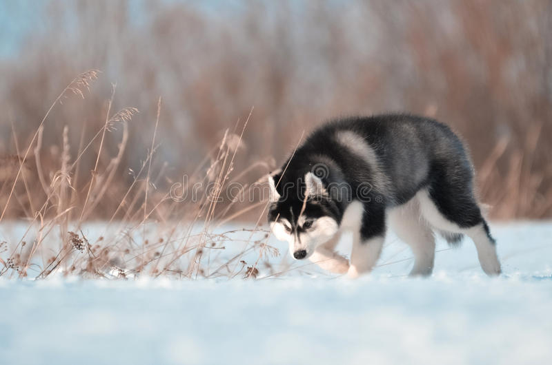 Siberian husky dog puppy black and white jumps in the snow meadow stock photography