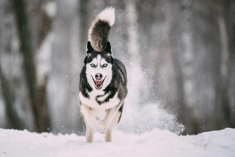 Siberian Husky Dog Running Outdoor In Snowy Field At Winter Day. royalty free stock images