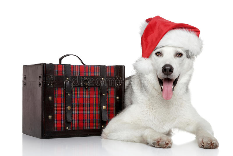 Siberian Husky Dog In Santa Red Hat Royalty Free Stock Photo