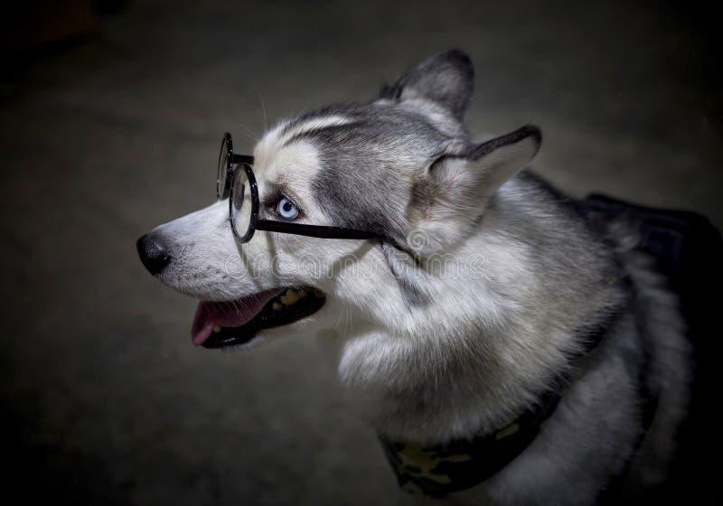 Siberian Husky dog wearing glasses. stock photo