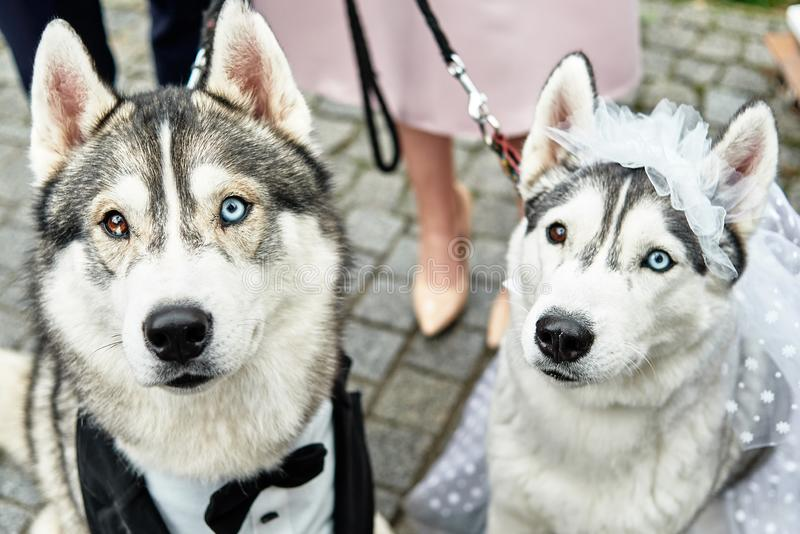 Siberian husky dogs couple with heterochromia, copy space. Bride and groom. Wedding concept stock image