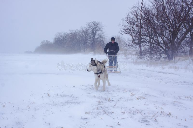 Sledge dogs in snow. Siberian Husky dogs are pulling a sledge with a man in winter forest stock images