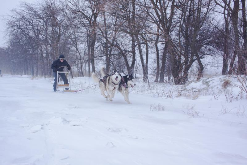 Sledge dogs in snow. Siberian Husky dogs are pulling a sledge with a man in winter forest stock photo