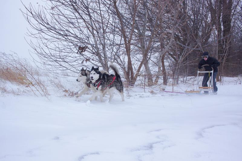 Sledge dogs in snow. Siberian Husky dogs are pulling a sledge with a man in winter forest stock photos