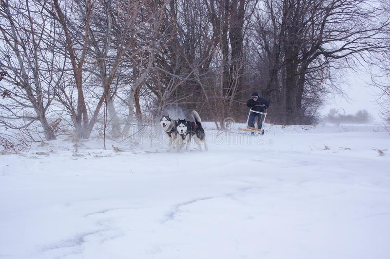 Sledge dogs in snow. Siberian Husky dogs are pulling a sledge with a man in winter forest stock photography