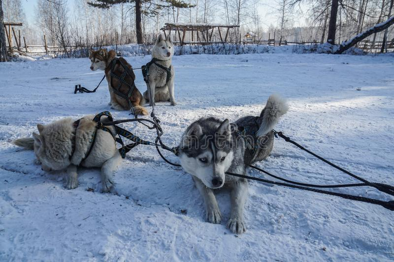 Siberian Husky dogs to pull sled over snow royalty free stock image