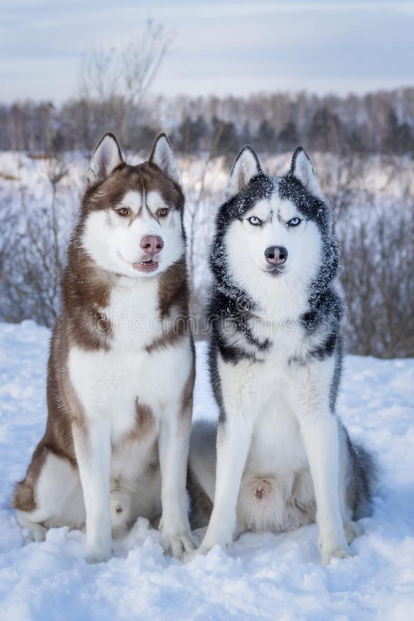 Siberian Husky dogs. Two beautiful Siberian Huskies with mesmerizing eyes. Eye color blue and amber. stock images