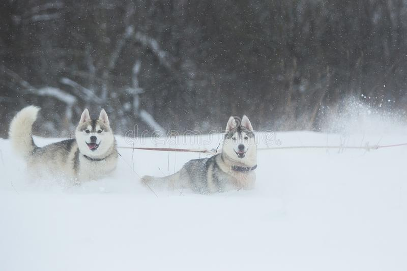 Siberian Husky dogs on winter background. Two amazing husky dogs standing on the snow stock photo