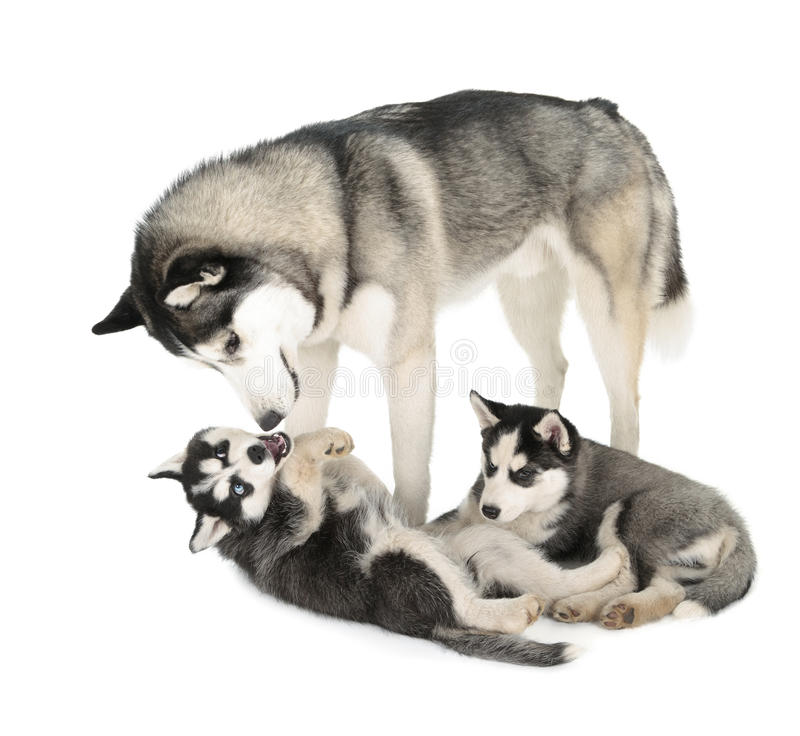 Siberian Husky Family fotos de stock