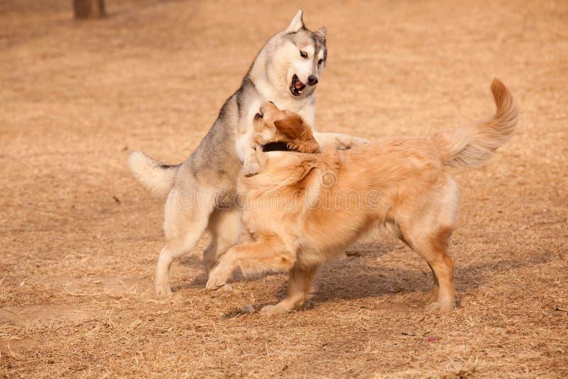 Siberian husky and golden retriever. Siberian Husky play with golden retriever royalty free stock photo