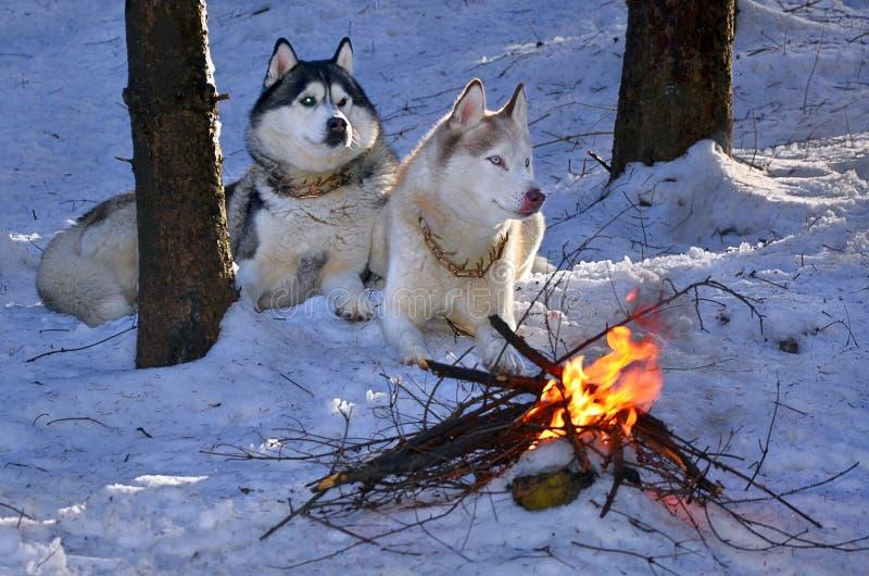Siberian husky i snowen arkivbilder