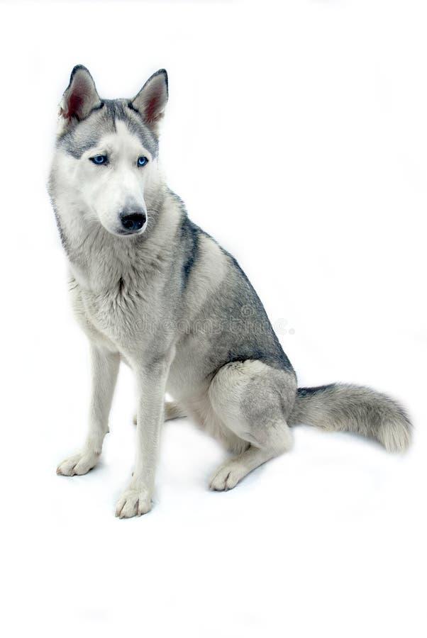 Siberian husky - isolated stock image