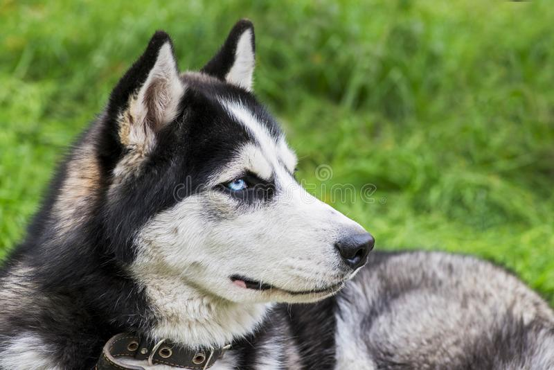 Siberian husky laying on green grass in the clear day. Husky puppy resting on the green grass stock photography