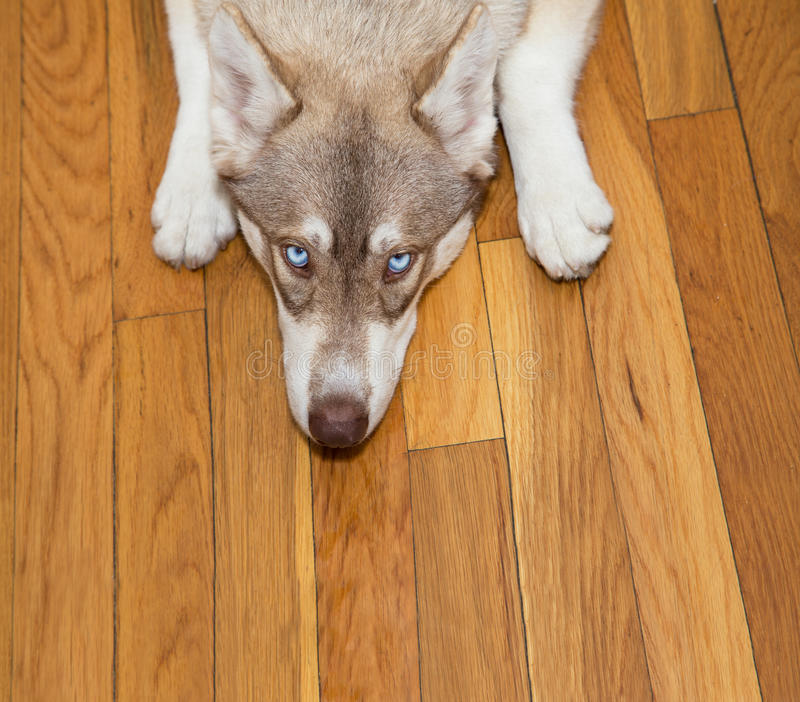 Siberian Husky Looking Up. From the floor stock photo