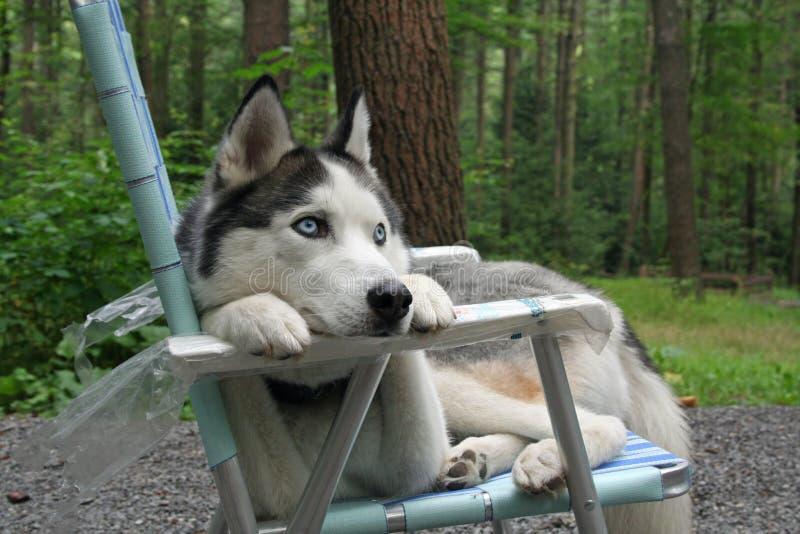 Siberian Husky lounging stock photography