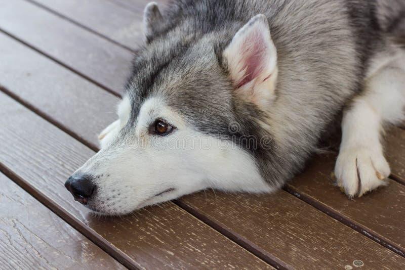 Siberian Husky. Lovely dog sleep on the floor royalty free stock photos