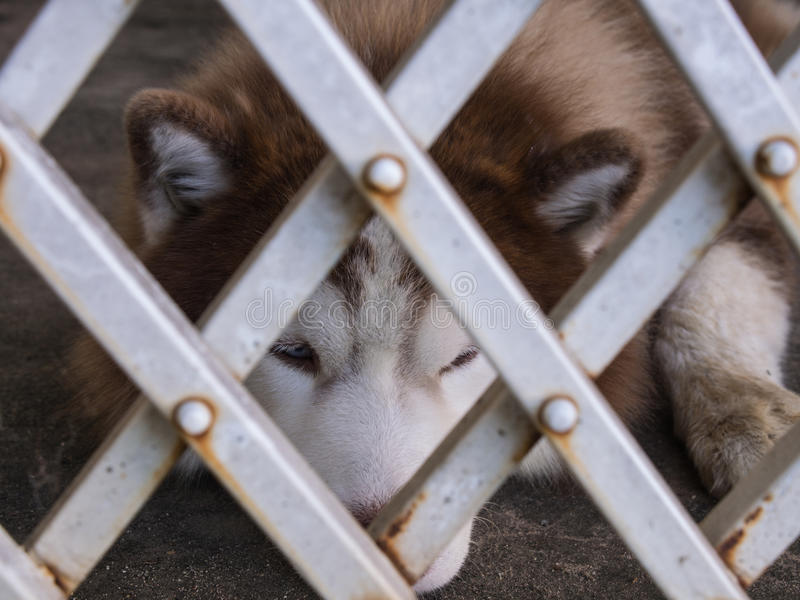 Siberian Husky Lying. Behind a Steel Curtain stock photo