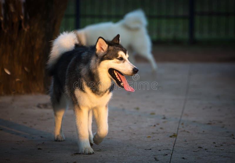 Siberian Husky, working dog. The Siberian Husky  is a medium size working dog breed stock photo