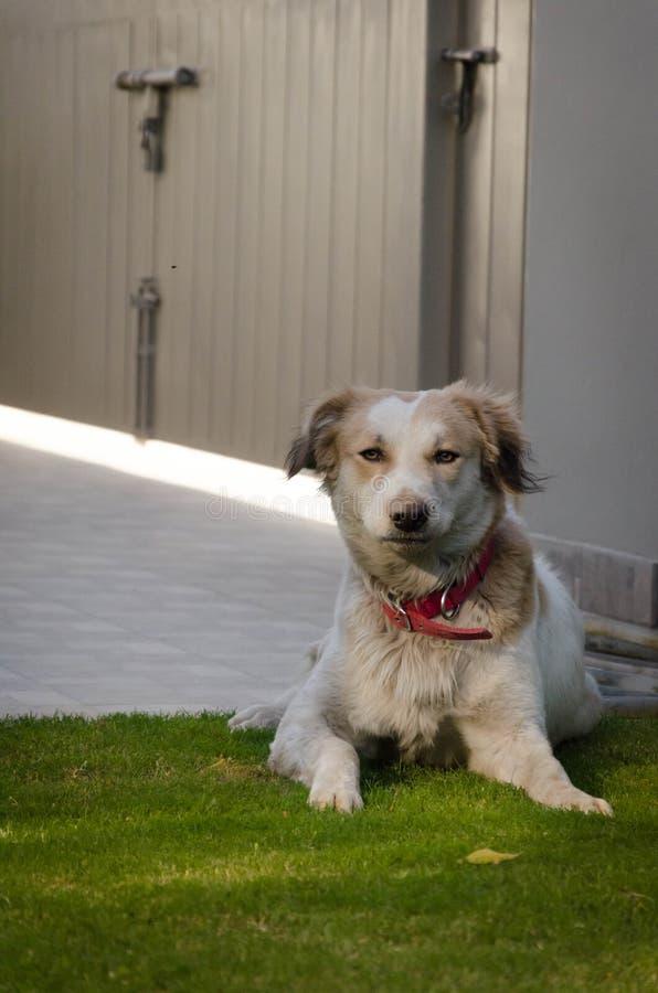 Siberian Husky Mix Dog arkivfoton